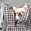 Chihuahua in bag in the car — Foto Stock