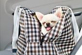 Chihuahua in bag in the car — Stock Photo