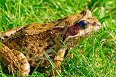 Looking at camera frog — Stock Photo