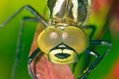 Dragon fly — Stock Photo