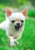 Cute chihuahua — Stock Photo