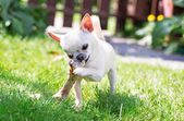Chihuahua en hond bot — Stockfoto