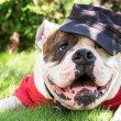 Stock Photo: Dog in cap