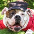 Stock Photo: Funny americbulldog in hat and clothes