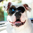 Stock Photo: Bulldog in sunglasses