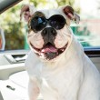 Stock Photo: Dog in sunglasses