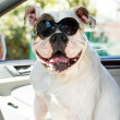 Dog in sunglasses — Foto Stock