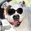 Stock Photo: Funny americbulldog