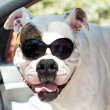 American bulldog in sunglasses in the car — Stock fotografie