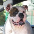 Stockfoto: Dog in the car