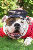 Funny american bulldog in hat and clothes — Stock Photo