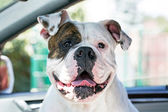 Happy dog in car — Stockfoto