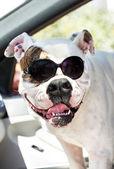 Funny american bulldog — Stock Photo