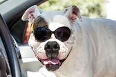 American bulldog in sunglasses in the car — Stock Photo