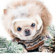 Small chihuahua in fur cap and coat  — Stock Photo