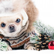 Funny chihuahua in cap and coat — Stock Photo