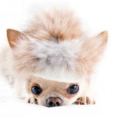 Funny chihuahua in fur cap — Stock Photo