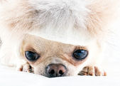 Small chihuahua in fur cap — Stock Photo