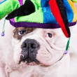 American bulldog in funny cap — Stock Photo