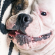 Funny face of americbulldog — Stockfoto #33336831