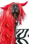 Funny black dog in wig — Stock Photo