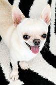 Tiny funny small dog — Stock Photo