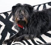 Svart hund — Stockfoto