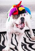 Yawning american bulldog in funny cap — Stock Photo