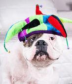 American bulldog in cap — Stock Photo