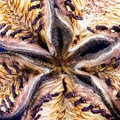 Seed of peony — Foto de Stock