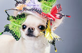 Chihuahua dog with butterflies — Photo