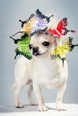 Grappige chihuahua hond — Stockfoto