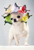 Happy chihuahua dog in cap with butterflies — Photo