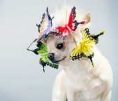 Chihuahua in a funny cp — Stockfoto