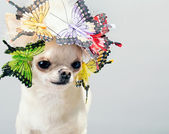 Chihuahua — Photo
