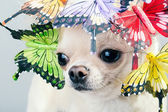Grappige kleine chihuahua hond — Stockfoto