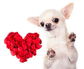 Chihuahua dog with red heart — Photo