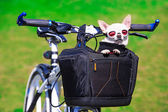 Chihuahua in sunglasses — Foto Stock