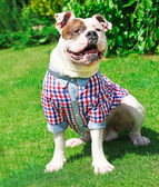 Funny happy dog in clothes — Stok fotoğraf