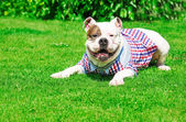 Beautiful american bulldog — Stock Photo