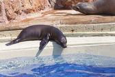 Brown Fur Seals (Arctocephalus pusillus) — Stock Photo