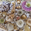 Seashell — Stock Photo #13477781