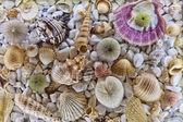 Seashell — Stockfoto