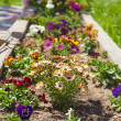 Garden with spring daisies and violas — Stock Photo