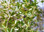 Ripe black berry on the tree. — Stock Photo
