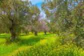 Olive trees in the spring — Stock Photo