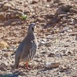 Chukar Partridge (Alectoris chukar) at Sounio cape, Greece - Stock Photo
