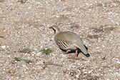 Chukar Partridge (Alectoris chukar) at Sounio cape, Greece — Stock Photo