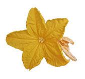 Gurkenblume isoliert auf weiss — Stockfoto