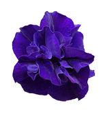 Purple flower of petunia isolated on white — Stock Photo